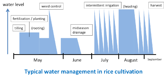 Typical water management in rice cultivation